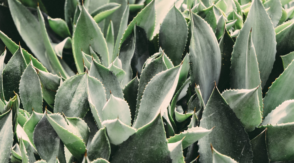 Aloe Vera, cos'è e come usarla